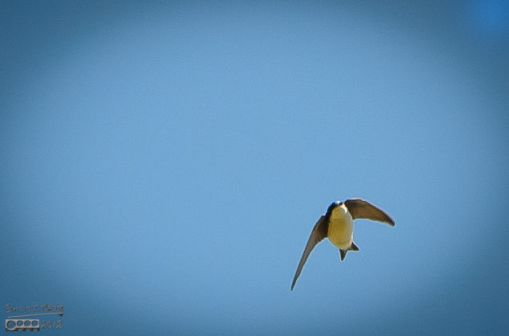 Even with the wind, they were flying about, and gave me a chance to snap a few photos of the swallows on-the-wing.