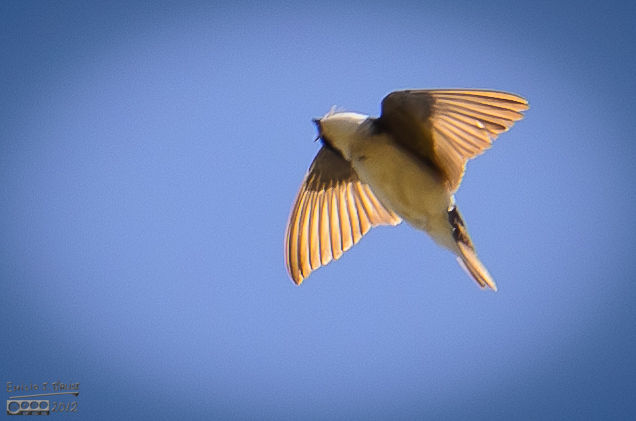 A little blurry, but neat view of the swallow scanning the sky.