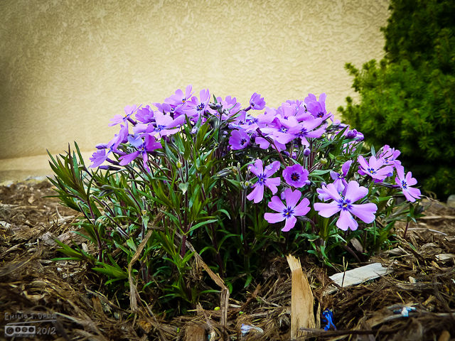 Some of the Phlox were the first flowers to be out.