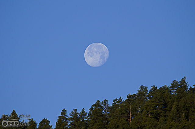 The trees were about to ensnare the moon as it traveled along its prescribed path.