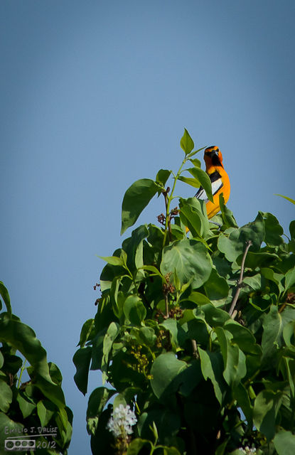 And the Oriole?  . . . it was playing it coy, modelling for me something fierce.