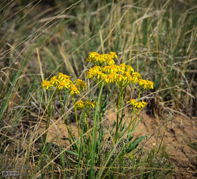 Lamb's Tongue Groundsel Flowers (Senecio Integerrimus)