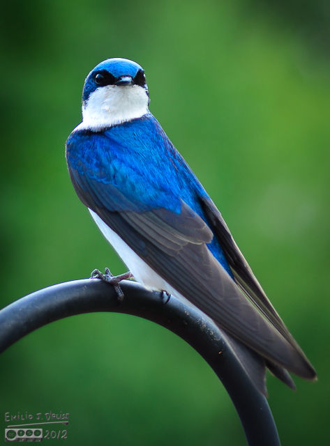 As I write this (mid-July), the swallows in Woodland Park (where I work) are already feeding their young - pictures to follow - so I presume these guys will soon do the same.