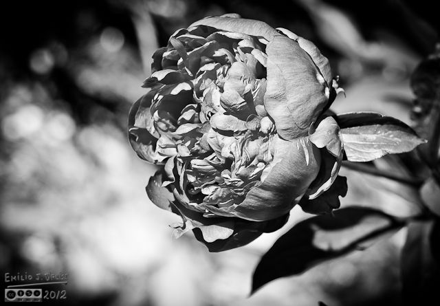 An example of a black and white treatment of a peony photograph.