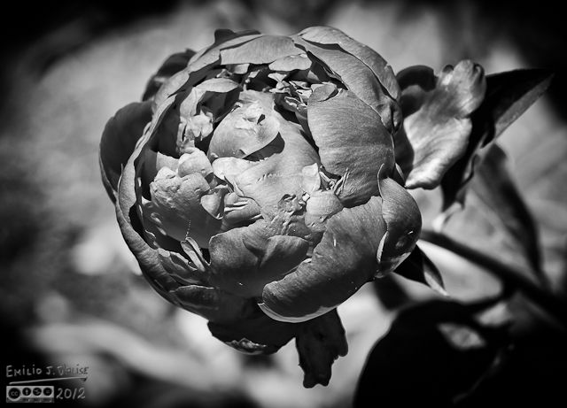 A different Black and White treatment of another peony photograph.