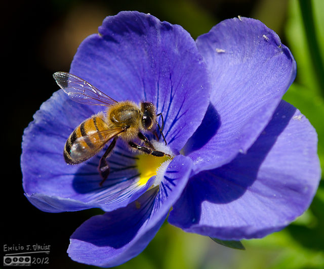 Bees kept landing on the pansies, and then proceeded to look high . . .