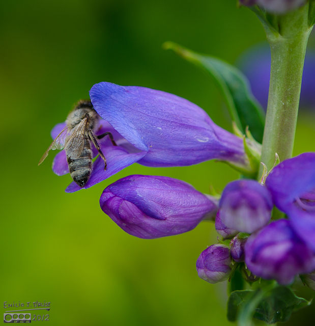 I feared the flower would snap shut and digest the bee . . .