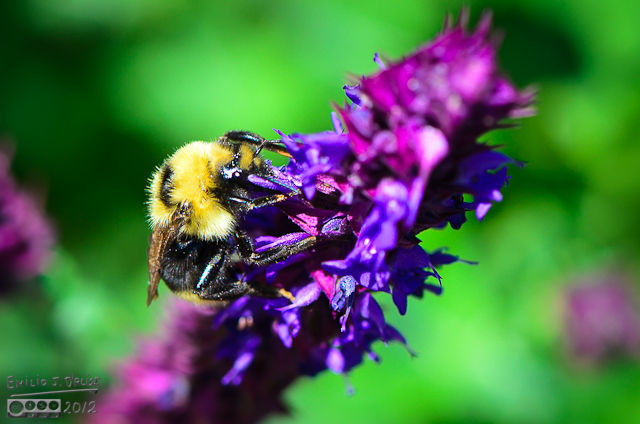 These big bees are some of the hardest to photograph. They always seem to manage to hide their facial features . . .