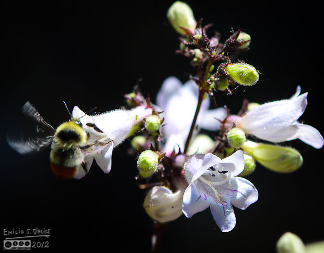 This is the closest I came to capturing a decent bee in flight, so I'm using it despite the poor quality.