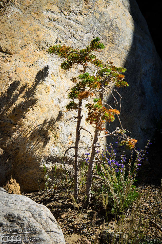 I like the combination of small pines, flowers, and the rock protecting them.