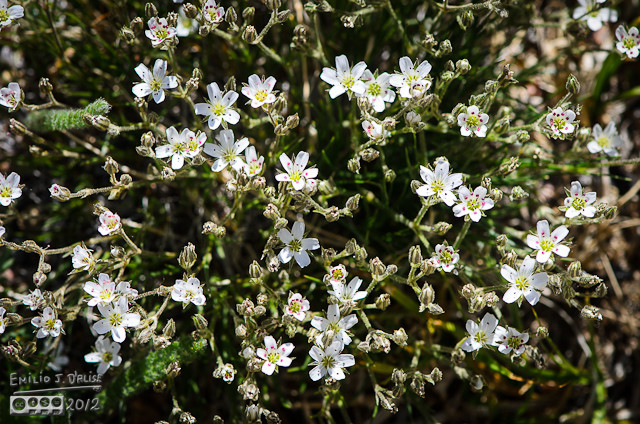 Very nice and delicate flowers, these are Fendler Sandwort Flowers.