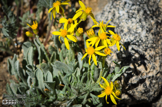 More yellow flowers . . . I'm naming these Golden Aster Villosa Flowers.   . . . Damn! . . . someone beat me to it.