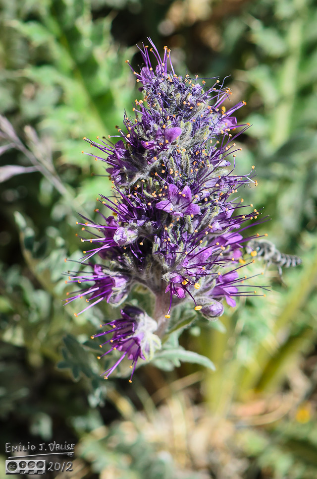 The Purple Fringe Flower . . .