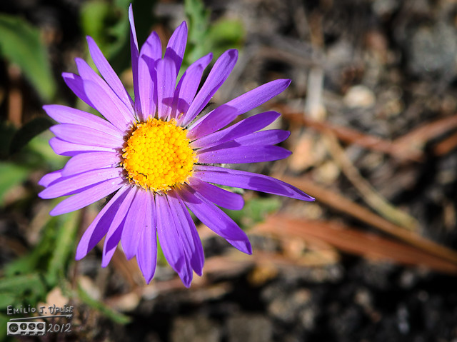 A close-up of an Alpine Daisy.