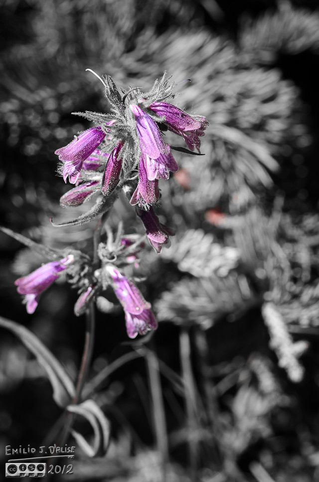 Another artistic rendition, this time of the Dusky Beardtongue Flowers.