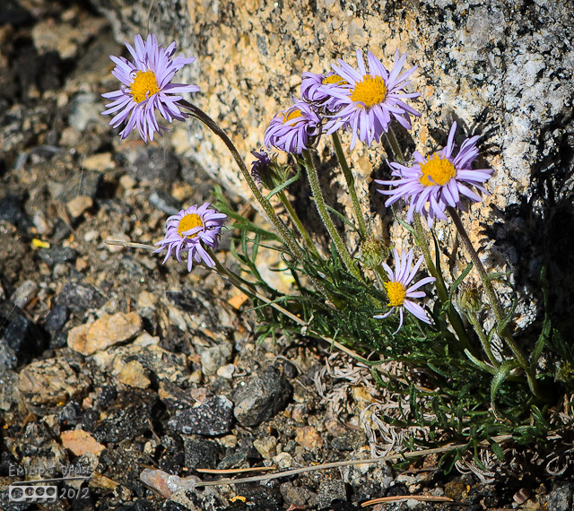 More Alpine Daisy plants. These are trying to move that rock . . . good luck, fellas!