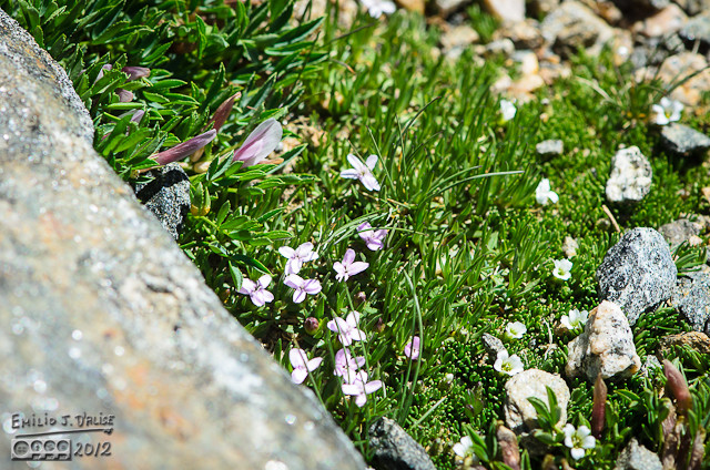 These are rocks growing among some dwarf clover and moss champion flowers.