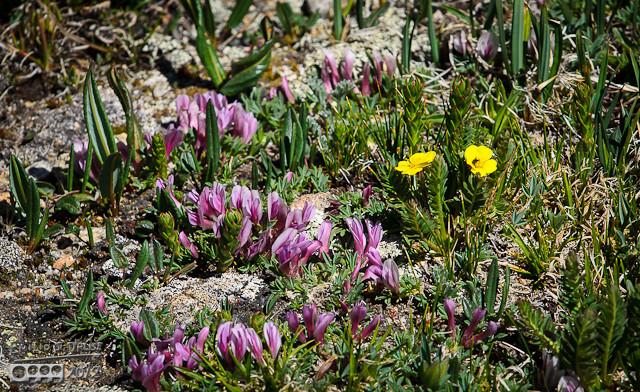 Dwarf Clover (Trifolium nanum), and some Alpine Avens