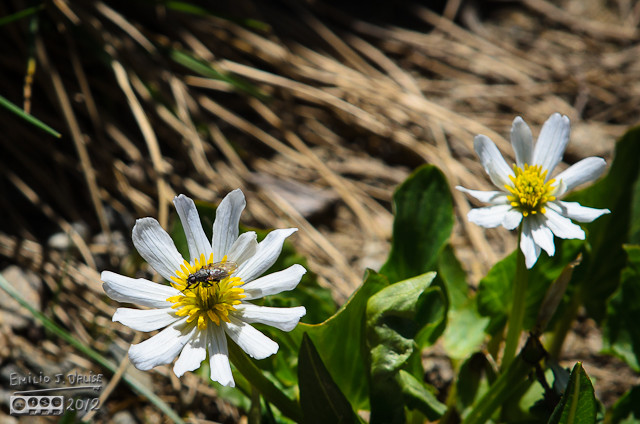 Same flower, but this time with a fly . . . perhaps I should have gotten those two together . . . they make a good pair.