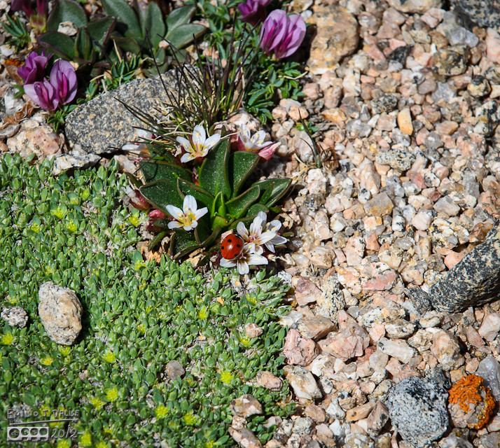 Lots of stuff happening here . . . some Alpine Springbeauty, some Fungous Umbrellicus, what looks to be Dwarf Clover (Trifolium nanum), and what was finally identified as Paronychia pulvinata (Rocky Mountain Nailwort).