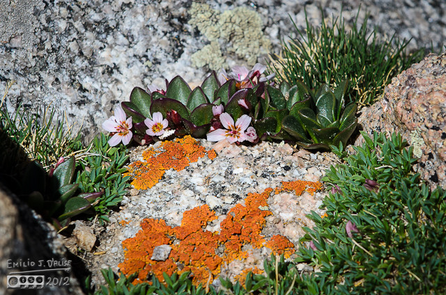 Springbeauty is a name that fits.   I do like the combination of rocks, lichen, and alpine flowers . . . it's like a miniature magical world of colors and textures.