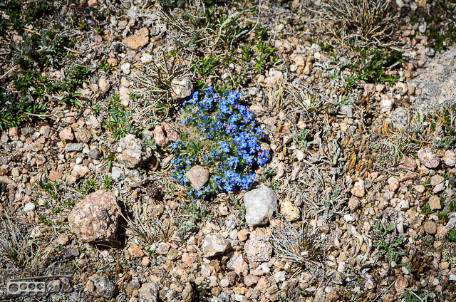 By far the most surprising and striking are the Alpine Forget-Me-Not Flowers, Eritrichium nanum. Your eyes are drawn to them both for their delicate beauty, and because the vivid blue seems out of place in this harsh environment.