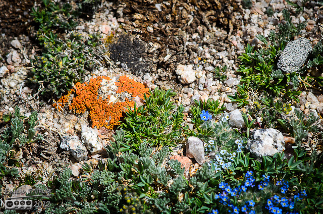 Whether the center of attention, or as an accent for the lichen and rocks, the Forget-Me-Not Flowers are welcome additions to any photo.