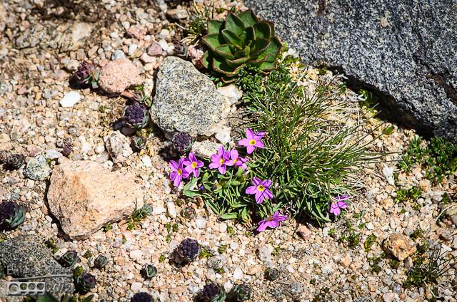 Alpine primroses . .