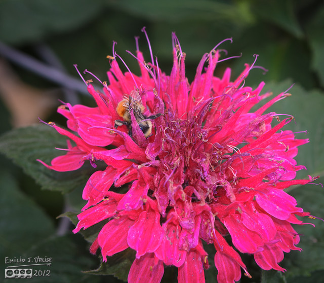 Now, with Bee Balm flowers, the search for nectar becomes an adventure . . .