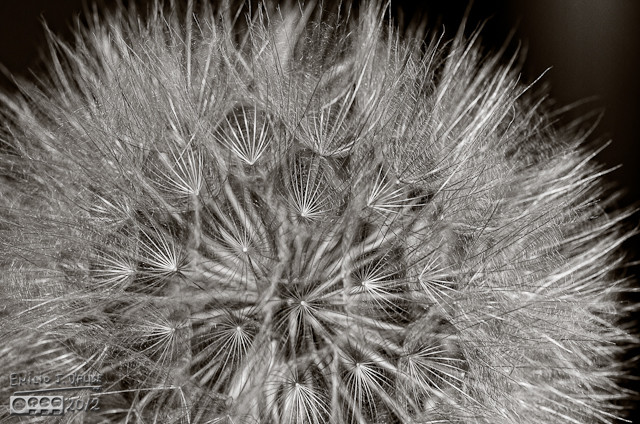 Salsify - onOne Layers - enhance detail plus other tweaks, then rendered in B&W