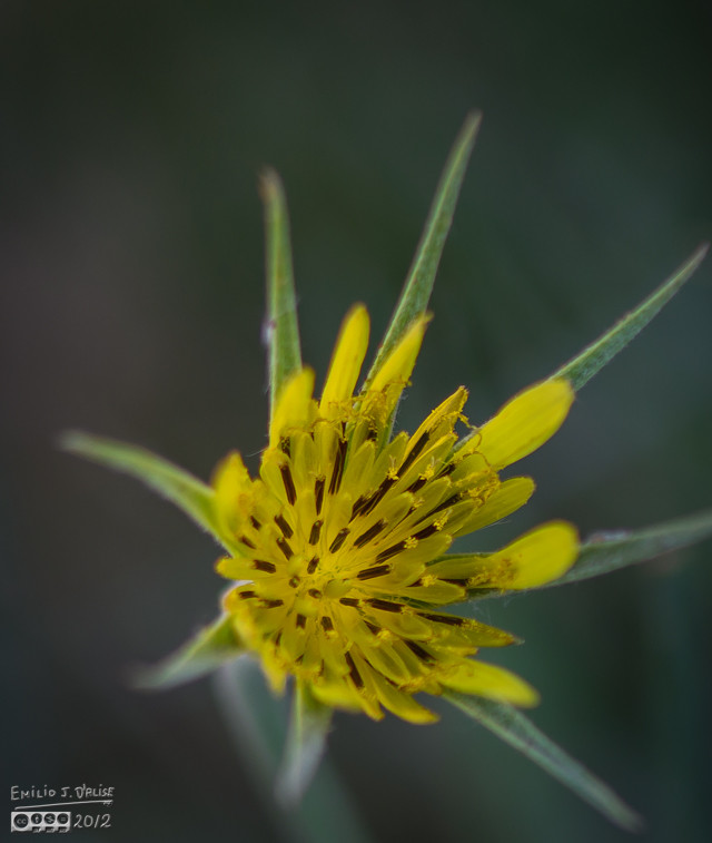 This is the Salsify flower. A beauty on its own right.