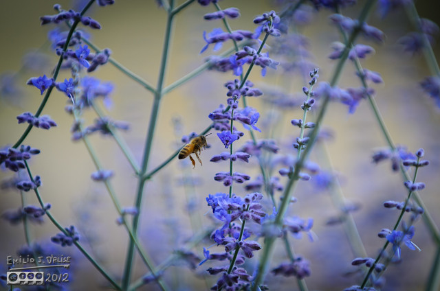 For some reason, this year the bees went nuts on the Russian Sage.