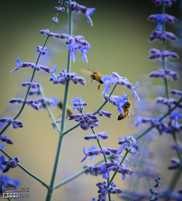 . . . maybe they produce a high volume of nectar.