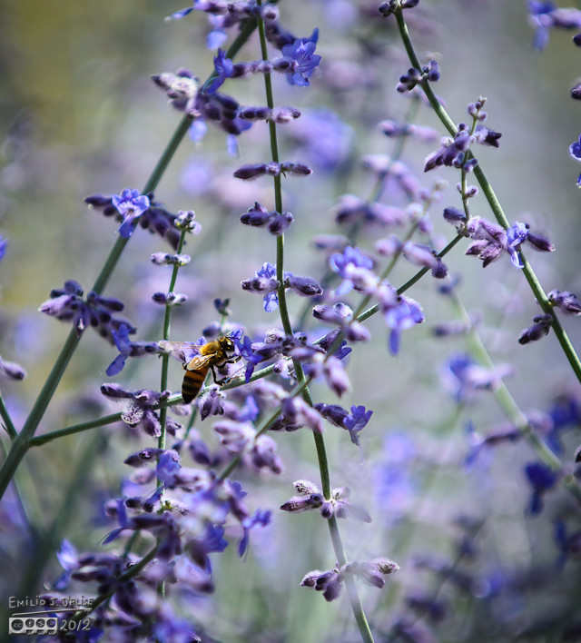 But, because the flowers are small, the bee don't seem to stay on them long.