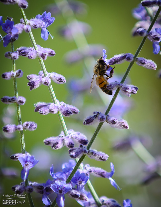 But sometime you get a bee which seems mesmerized with the bounty within the flowers, and you can get a decent shot.