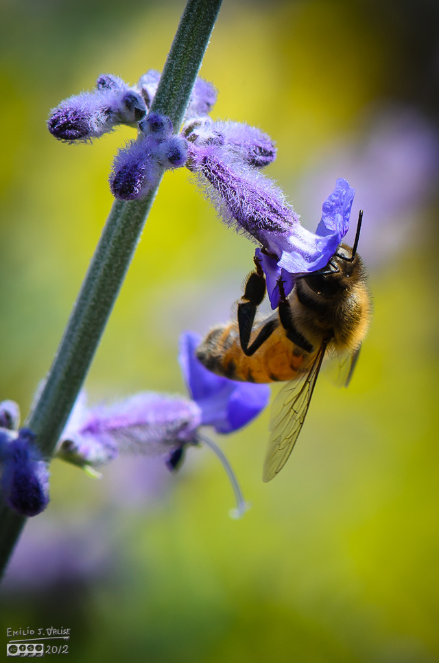This shot I like . . . sharp flower, sharp bee, decent composition . . .