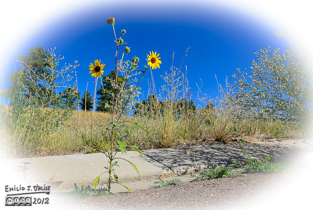 Like in the opening photograph, those are common sunflower plants.