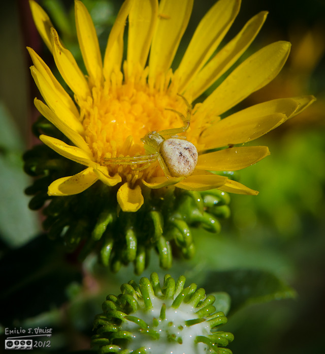And there, on one of the flowers, what do I see?  A Northern Crab Spider.  Small thing.  The flowers were maybe a inch round, and this guy blended in very nicely.