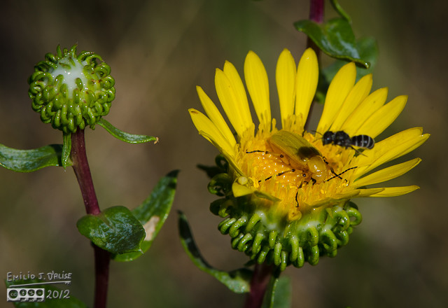 Meanwhile, the Sweat Bee was having a heart-to-heart with the beetle . . .