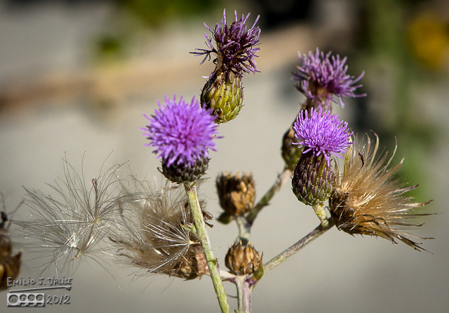 On the left you can see a few Salsify plant seeds caught on the spines of the thistle.
