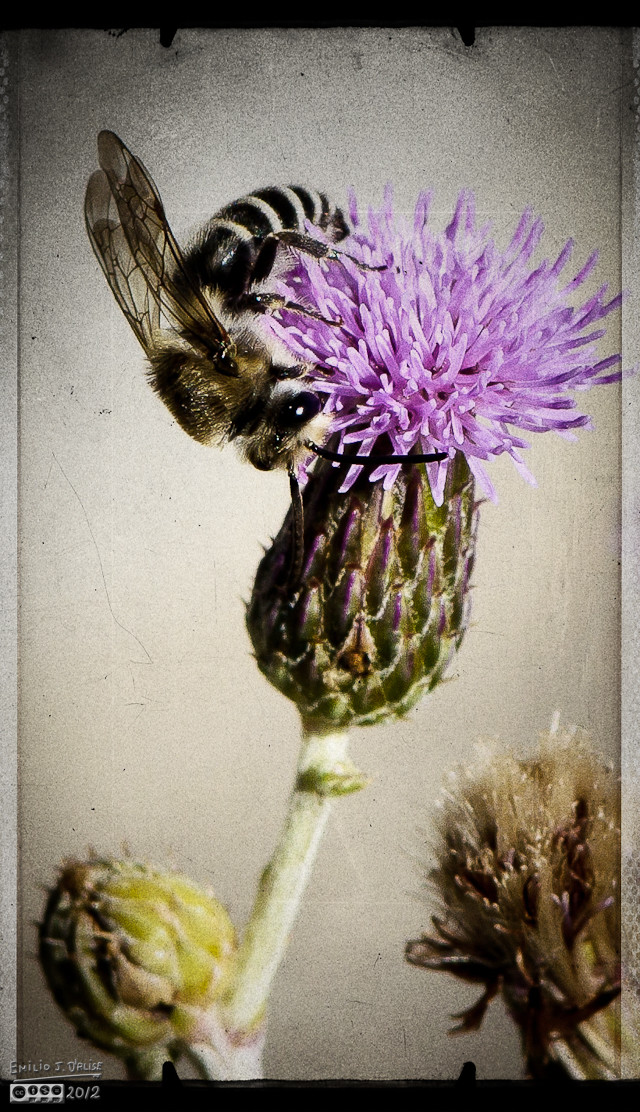 A Longhorn Bee came visiting as I was photographing the flower.  This is another treatment using onOne software.