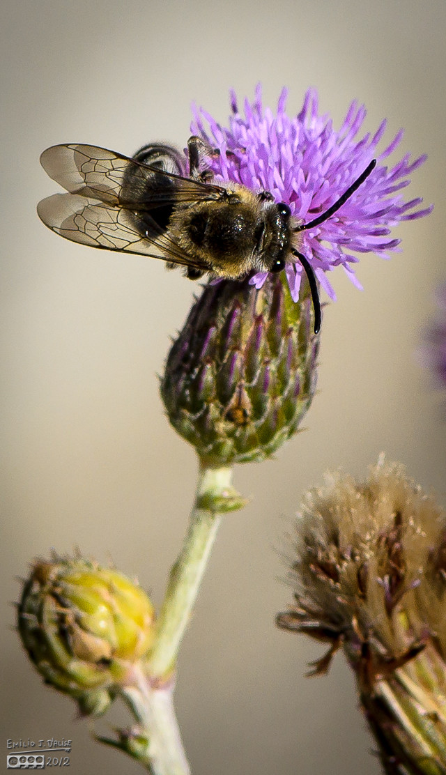 This bee was also oblivious to me snapping photos from a few inches away.