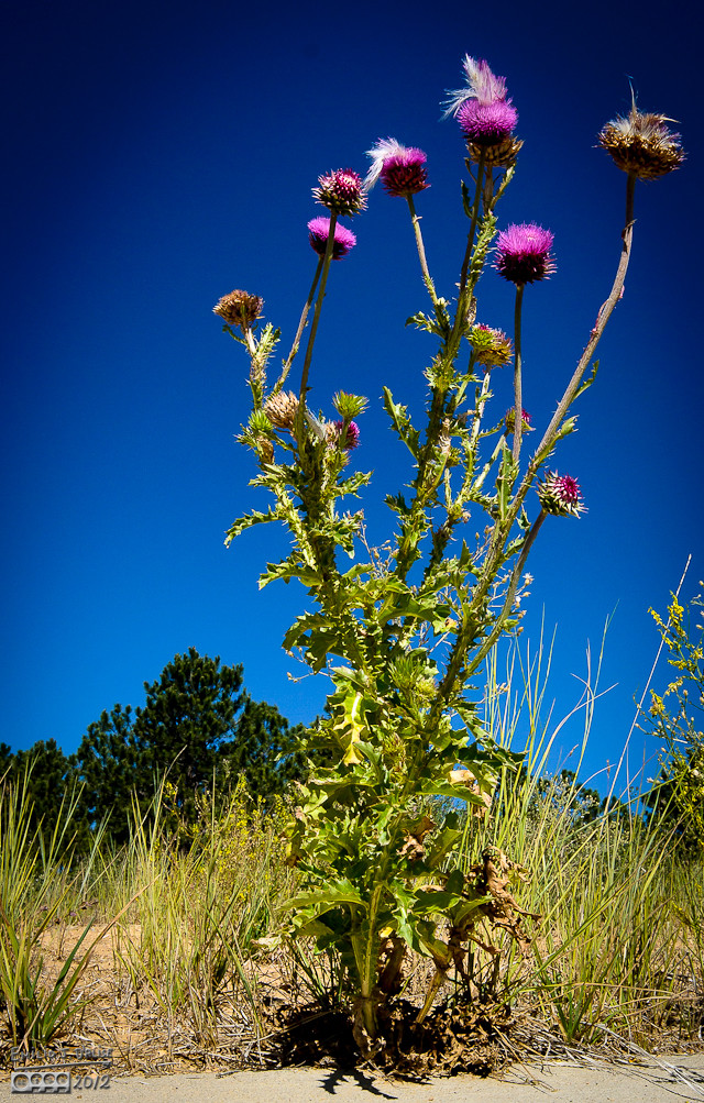 My favorite obnoxious weed.