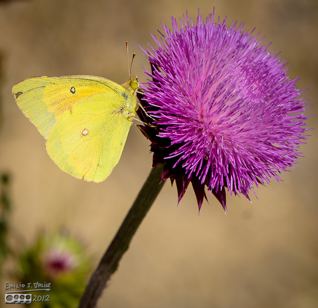 That is likely an Orange Sulphur Butterfly