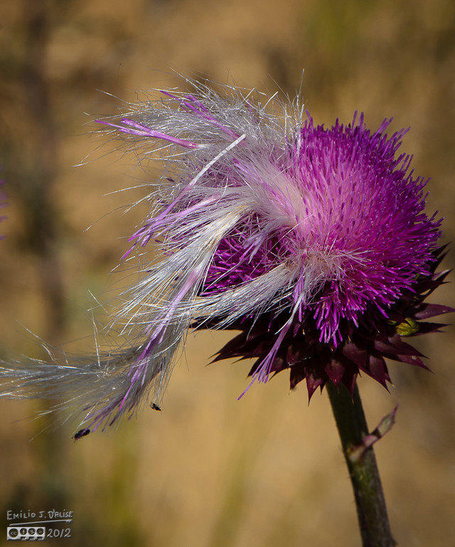 Like every other flower, the thistle did attract a number of insects.