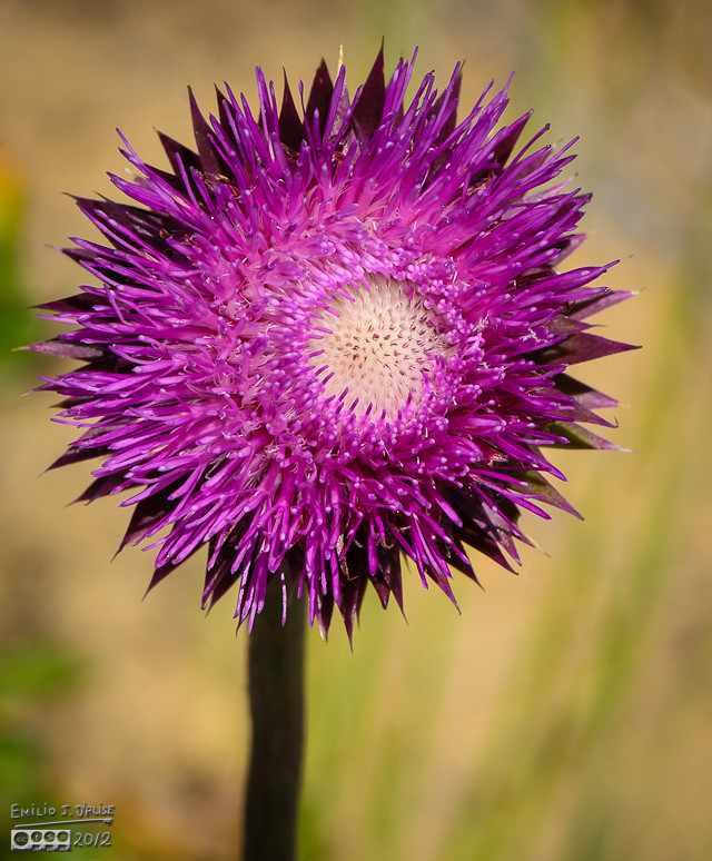 Occasionally I would find a flower devoid of insects . . .