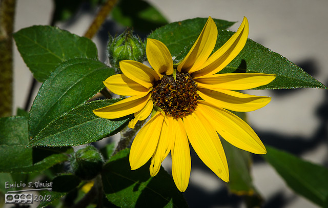 But back to the sunflowers . . .