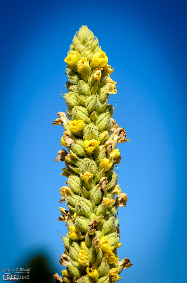 Close-up of the mullein flower.