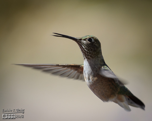 Rufous Female hummingbird
