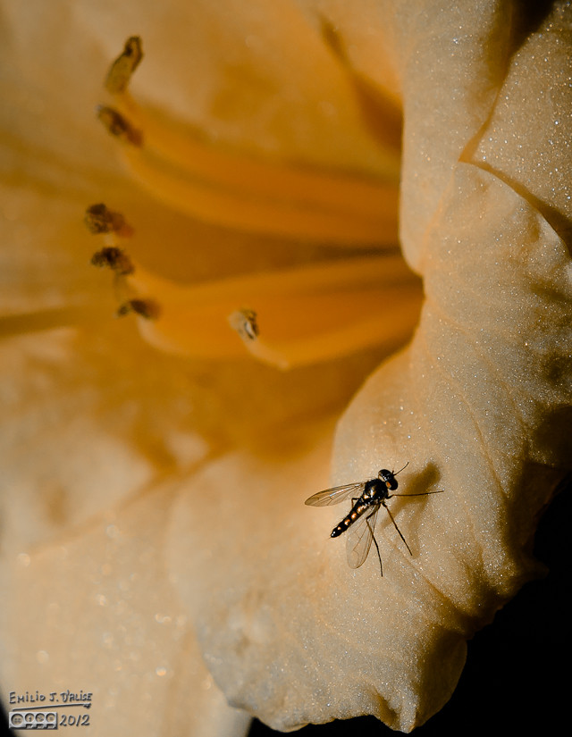 Same flower, same fly, different treatment.